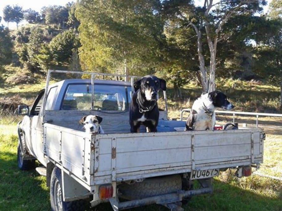 Farm working dogs