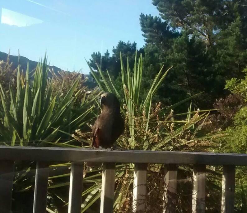 Native Kaka coming to visit