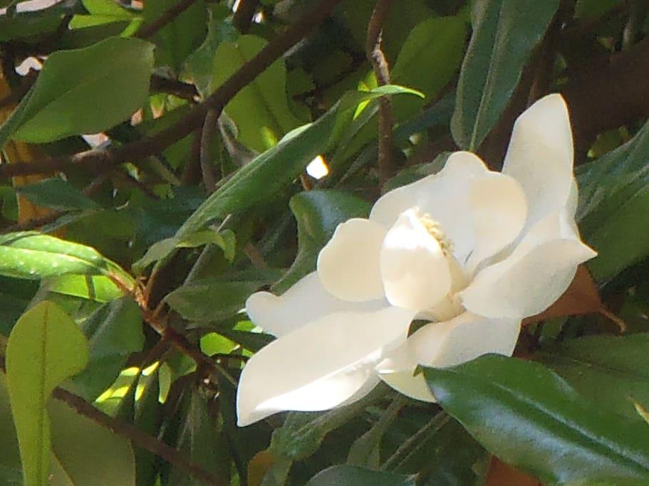 la magnolia fotografata dalla finestra