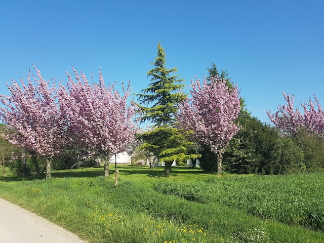 Prunus et cerisiers
