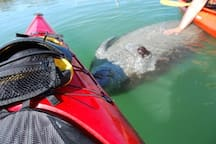 Manatee Belly Rub in the Gulf Nearby