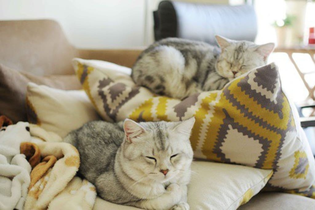 家里有两只兄妹猫 李太白和卡卡茜 温柔又粘人 请一定善待他们哦