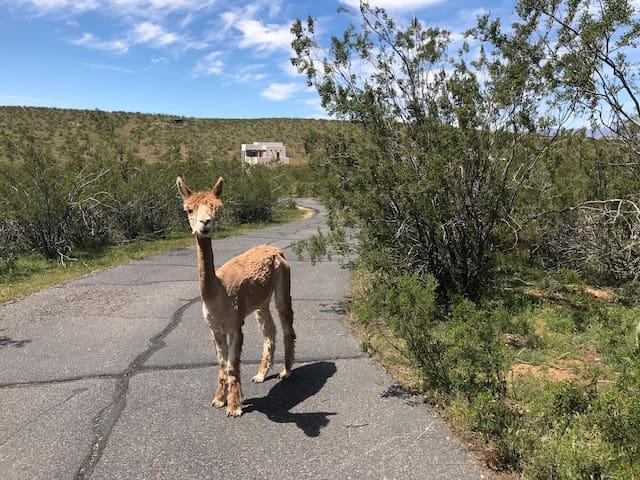 Zion Alpacas Country Casita