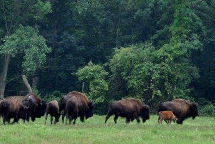 Bison Over Looking Cayuga