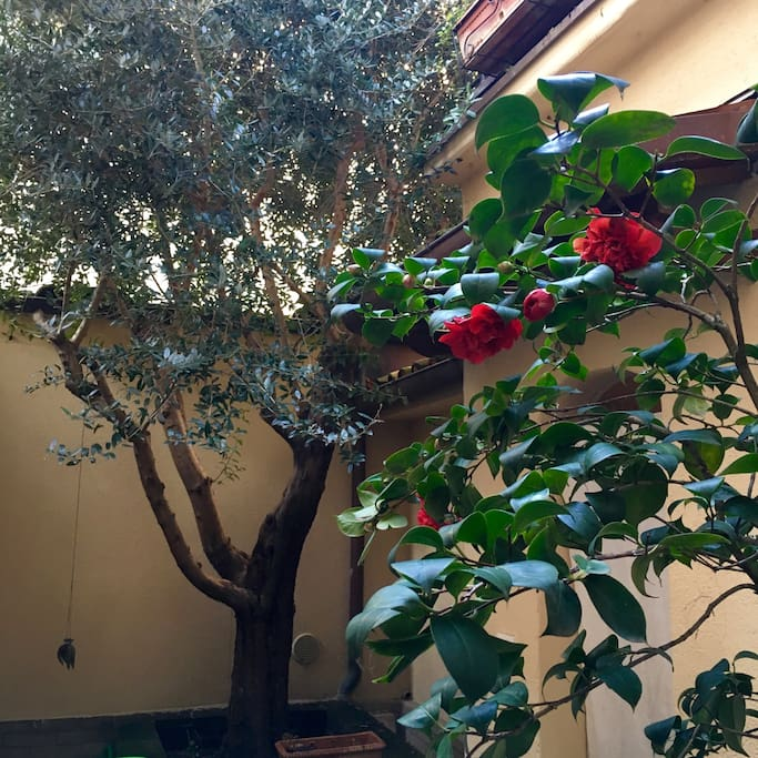 My sweet Camelia and the old olive tree