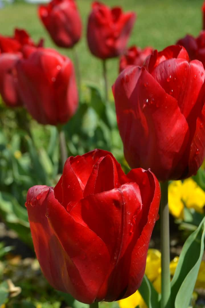 tulips are in bloom in April