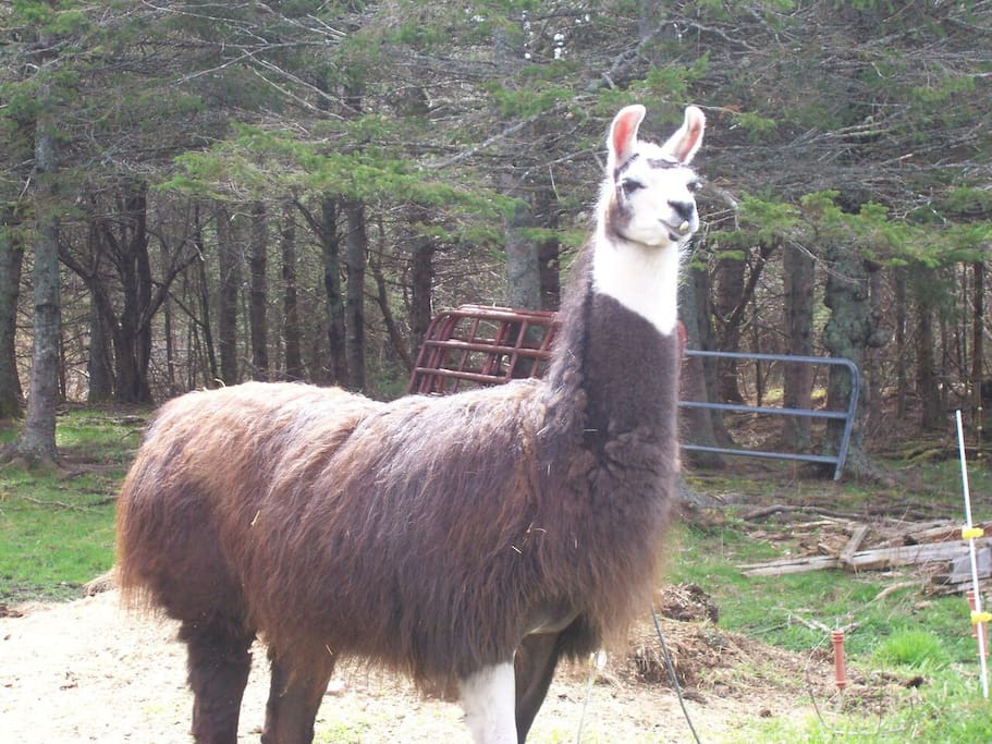 Our resident llama