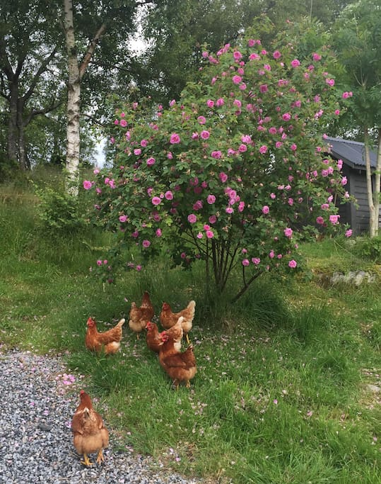Ferieboligen har hage/uteplass med frittgående høner. / There is a small garden and seeting area outside with free range chickens.