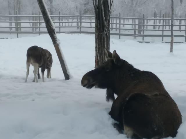 Elks and reindeers in Ranua zoo