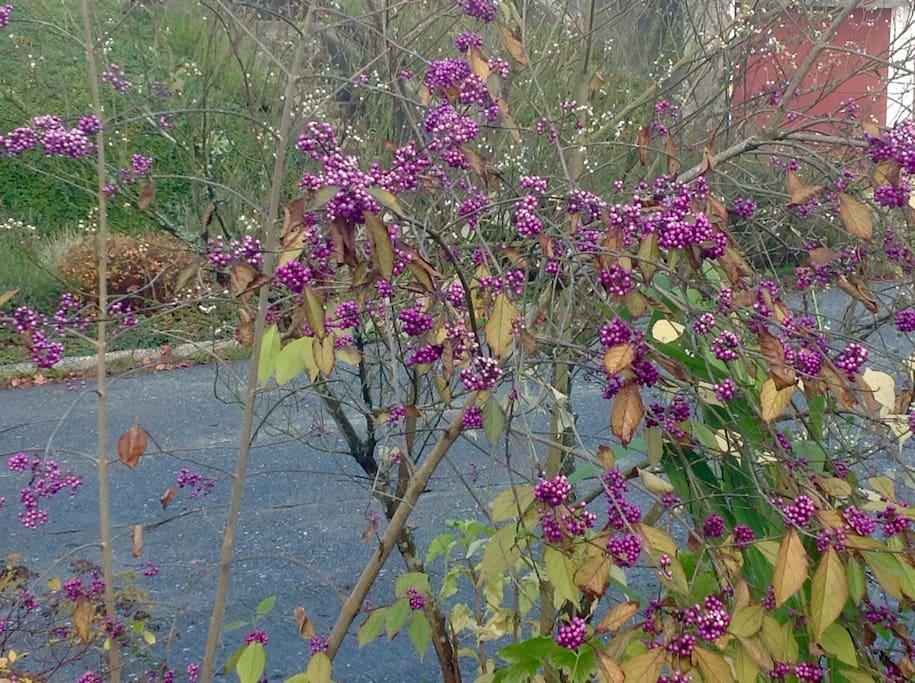 The fall garden: Callicarpa berries