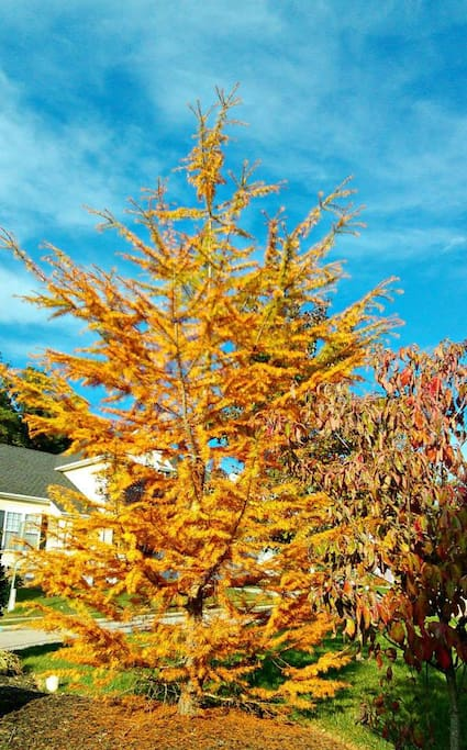 Tree in front yard during Fall