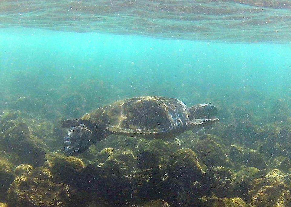 Our central location gives you a variety of options to go snorkeling with the Honu or...
