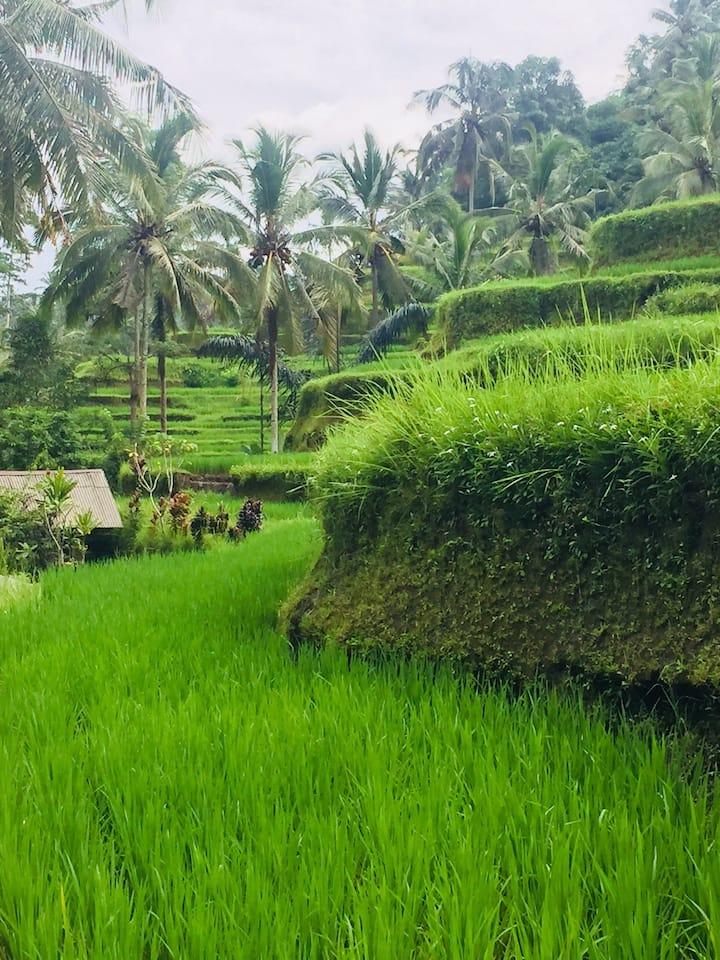 Tegalalang rice terrace/yansu