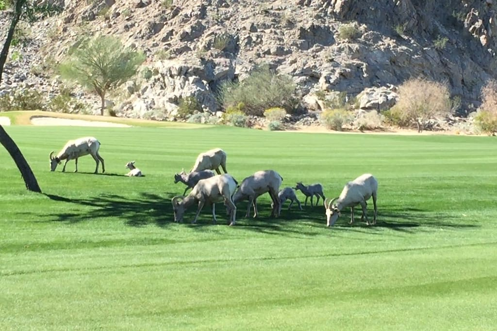 Wild big horn sheep feeding themselves in the golf course