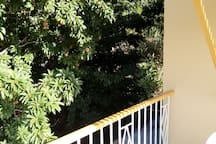 Pick Naseberries from your balcony Tree