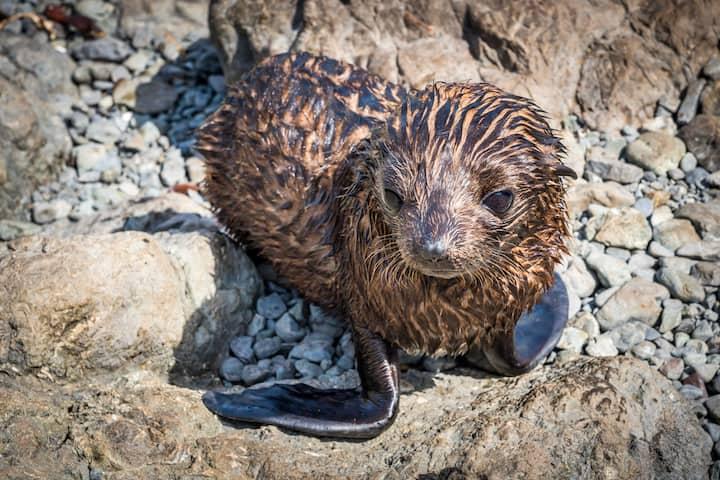 Seal pup at Cape Palliser