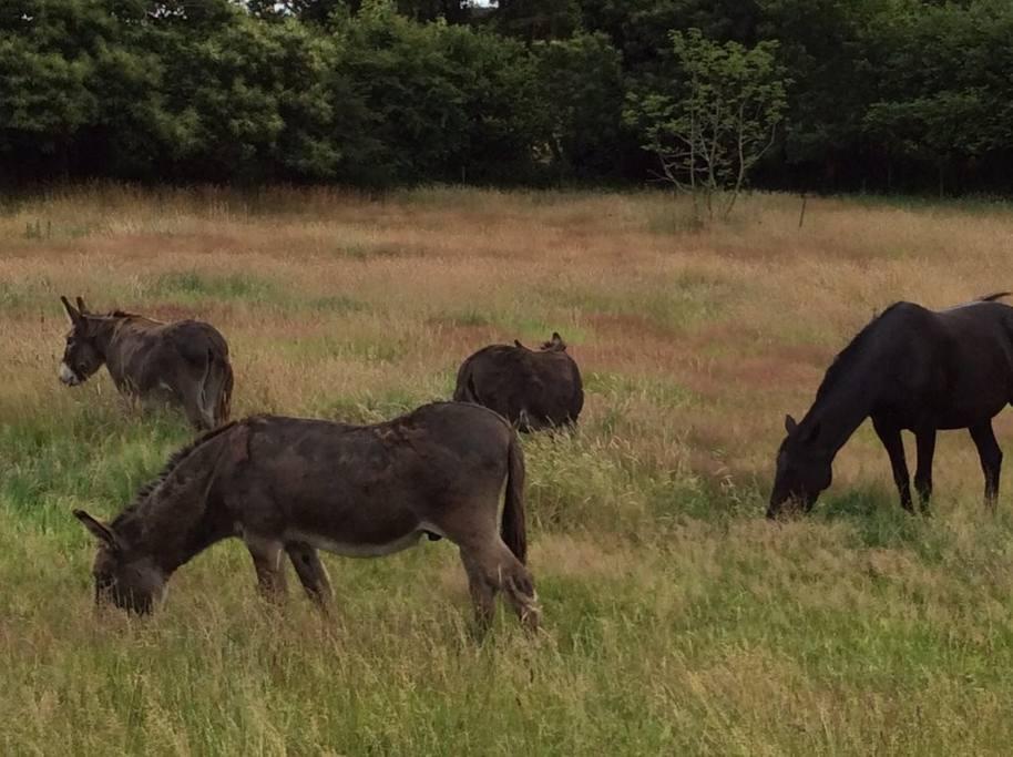 Les ânes de Kerliviry