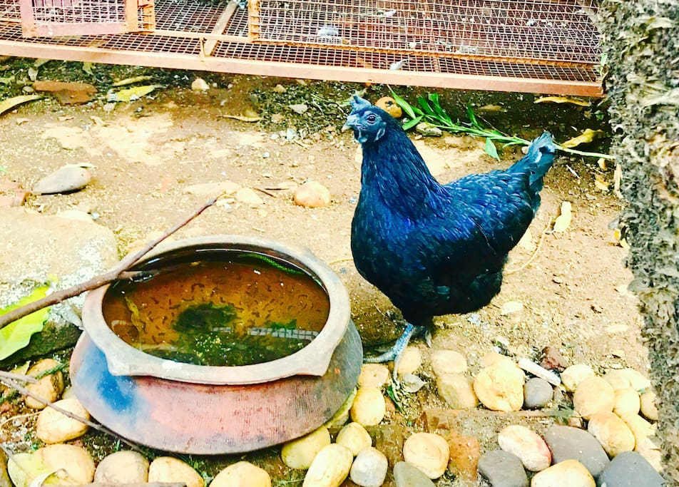 """The Kadaknath is an Indian breed of chicken local to the Madhya Pradesh area, where it is known as """"Kali masi"""""""