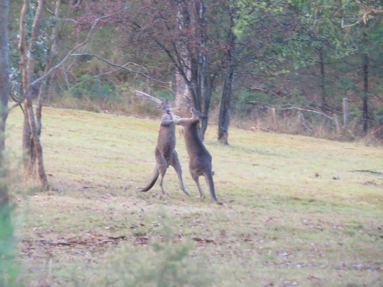 Kangaroos fighting at the back