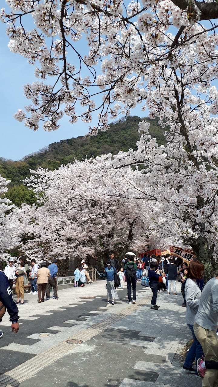 The festival of Cherry blossoms