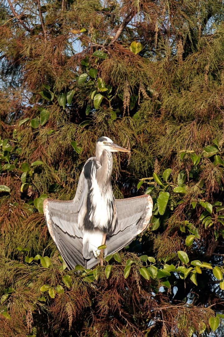 Sunning Great Blue Heron