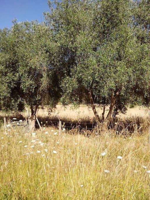 Some olive trees