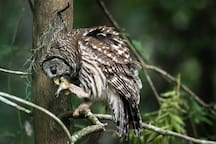 Barred owl lunch