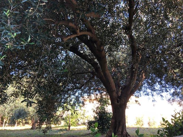 Ulivo di Sicilia