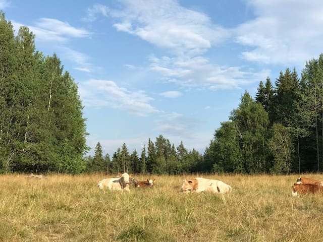 Neighboring cows in their pastures under the expansive sky with whimsical cloud puffs
