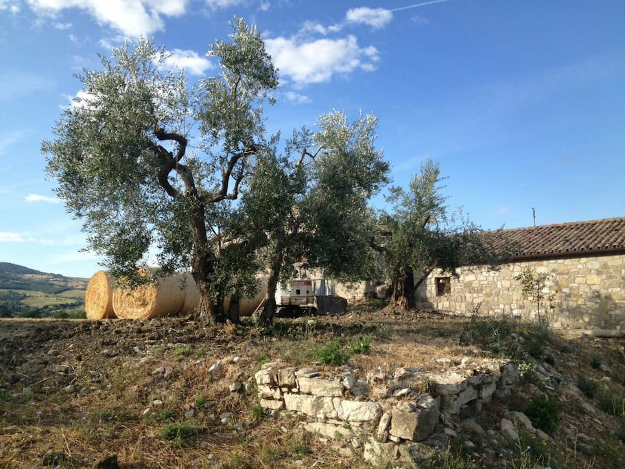 Ulivi di fronte alla casa - Olive trees in front of the house