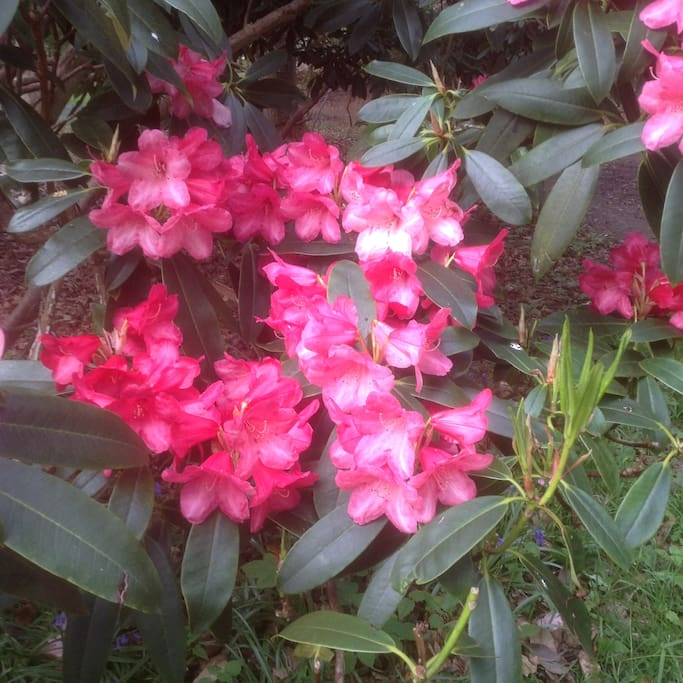 Sheringham Park rhododendrons