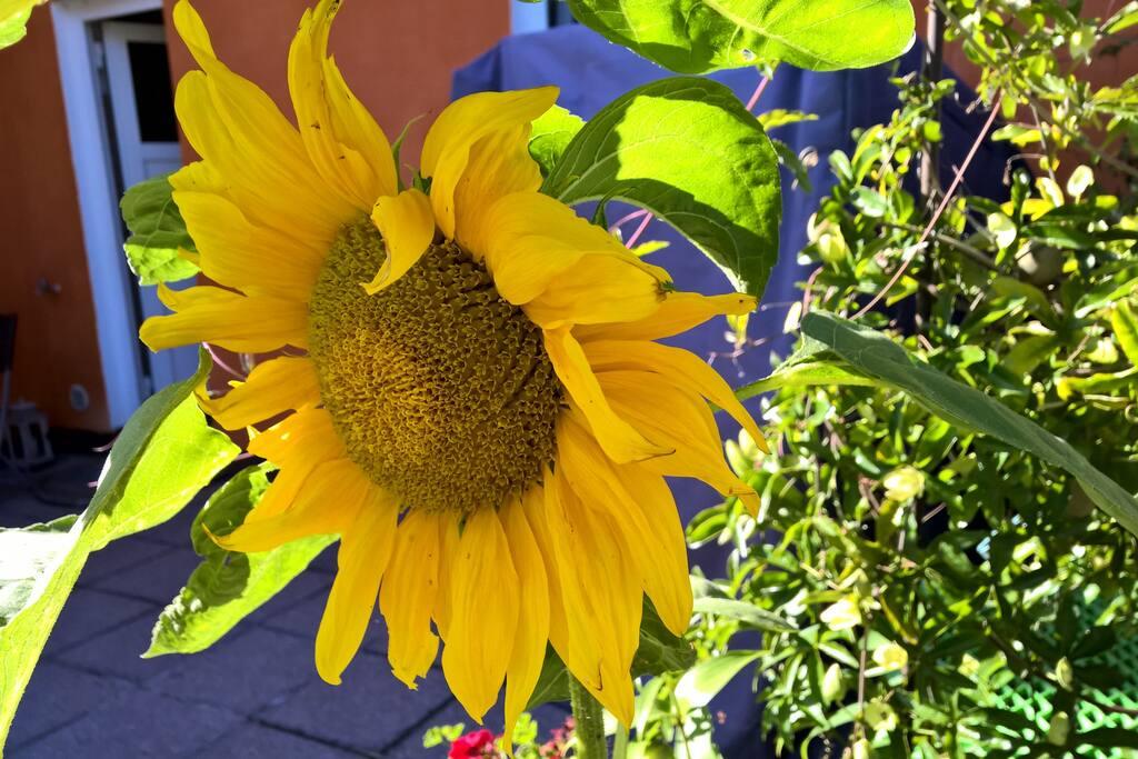 Die Sonnenblume vom Sonnenblumenhaus