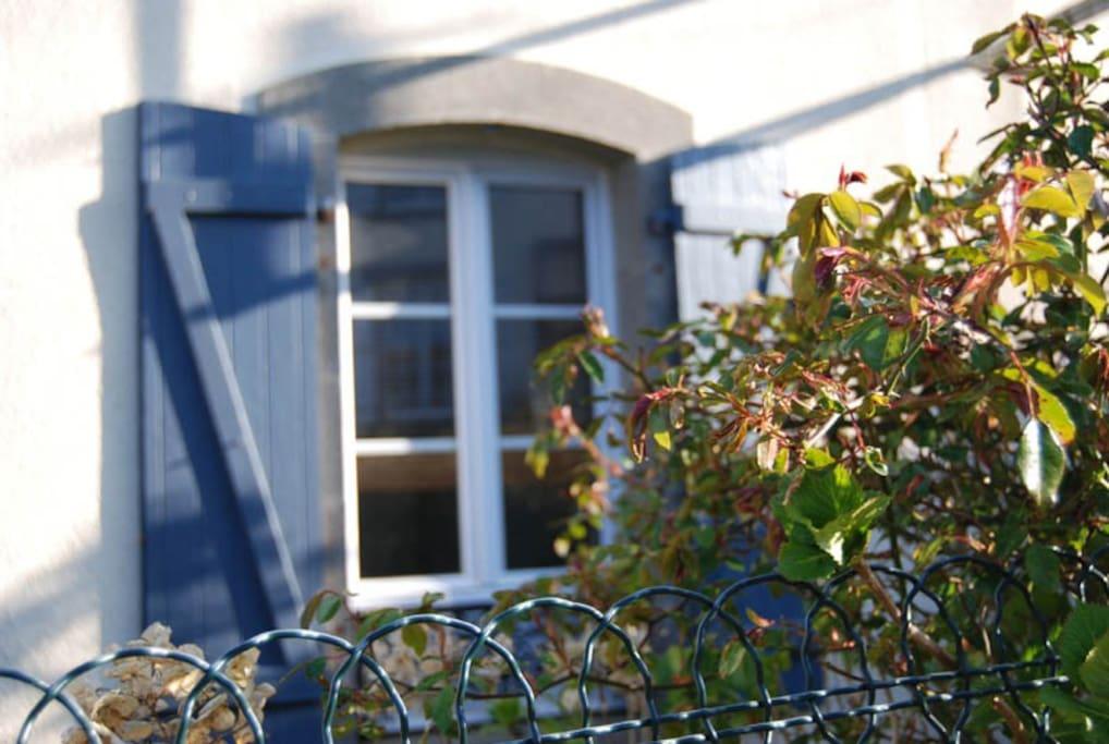 Le vieux rosier sur la clôture...