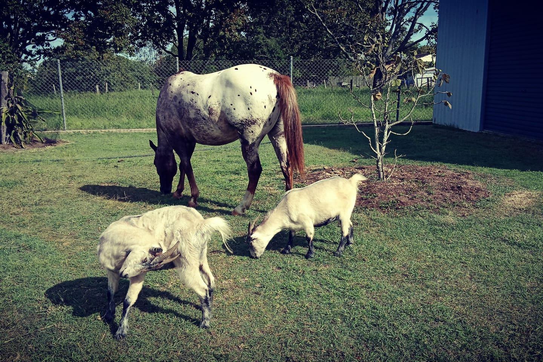 Summer Honey the Appaloosa mare and Mini and Koda the pixie goats