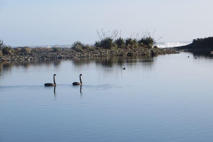 Swans on gold dredge pond