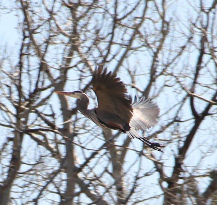 An early spring appearance of a rare bird.