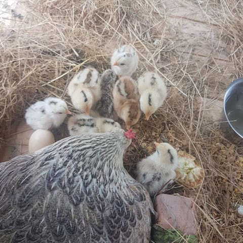 one of our hens with her 10 chicks.