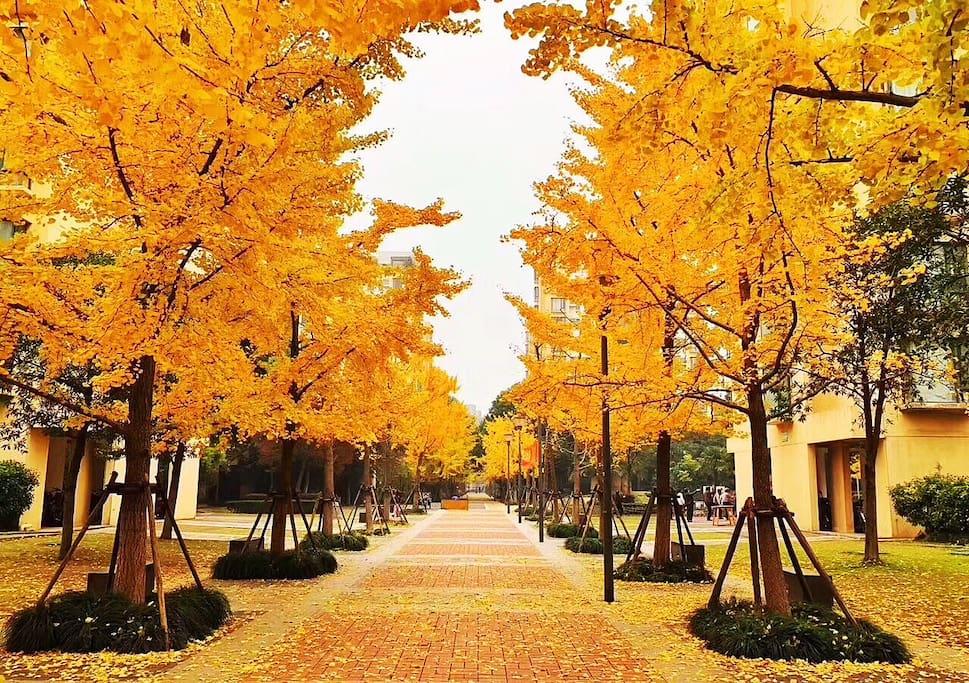 小区环境优美 秋天银杏树金黄一片…