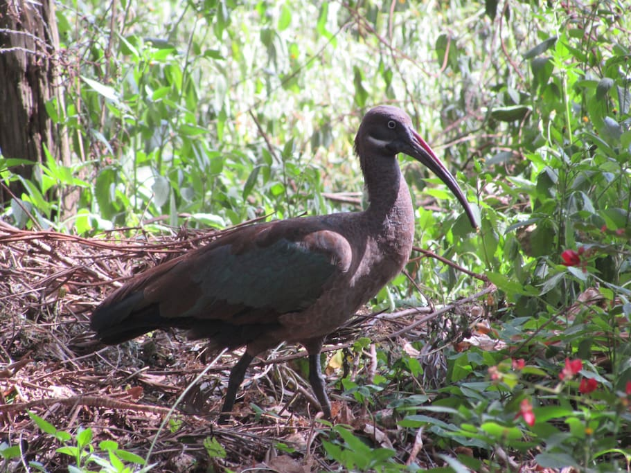 Bird life in our garden - An Ibis