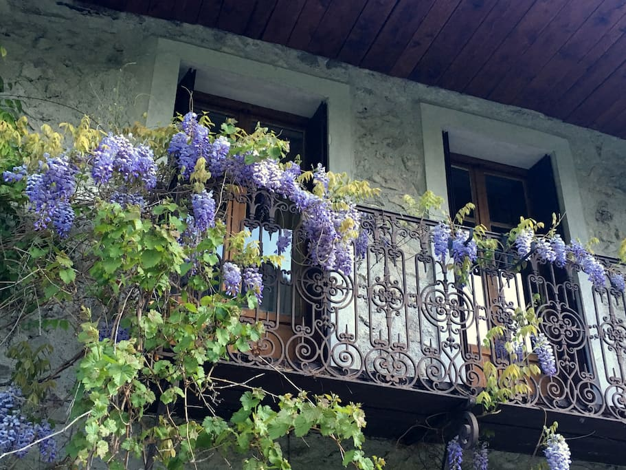 Wisteria on our balcony