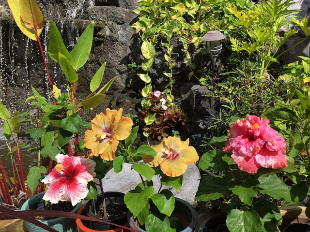 We have more than 40 varieties of tropical hibiscus flowers in our garden.