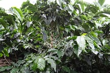 Coffee plant with granes