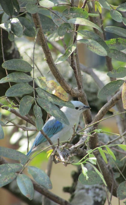 """The """"Blue- gray tanager"""" in the trees in front of the balcony"""