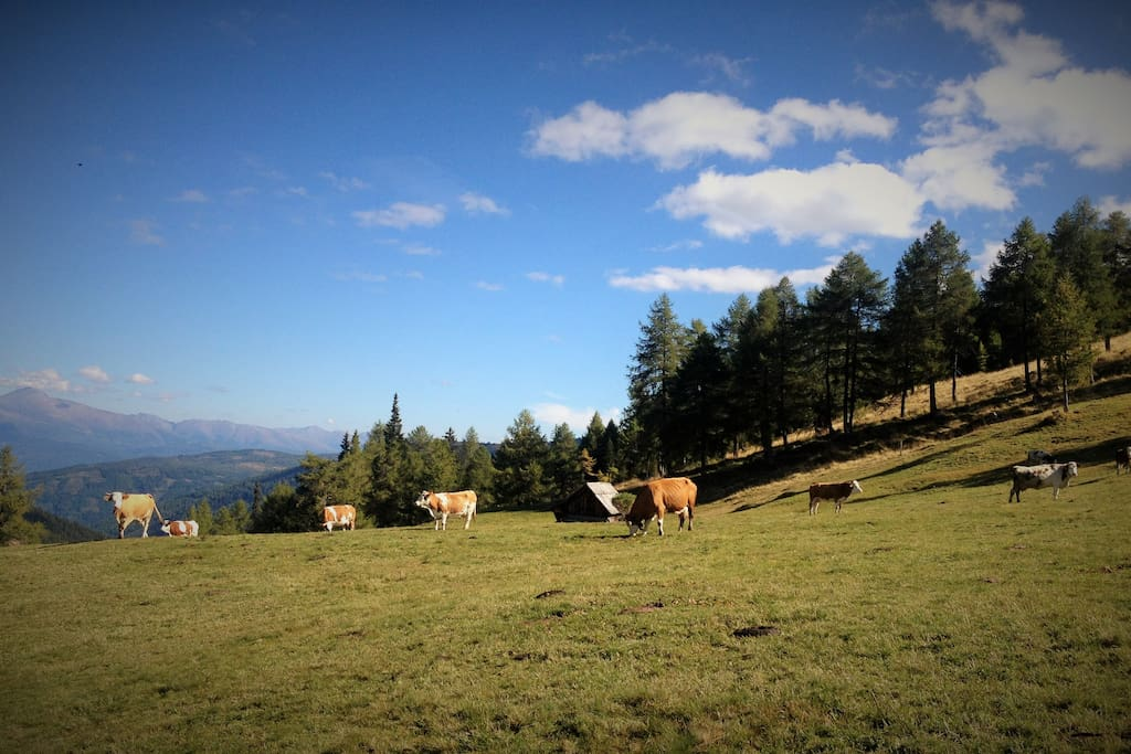 Kühe vom Laußnitzer
