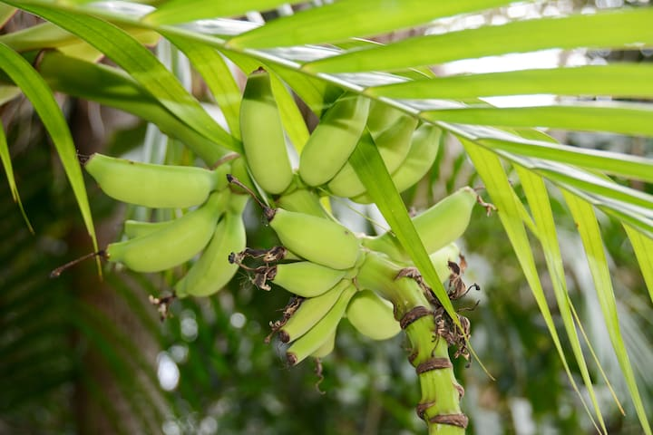Banana tree grows in front of the house - some lucky guests will be able to enjoy the fruit in season.