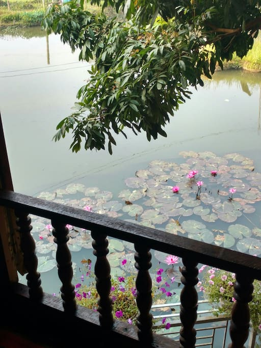 The waterlily pond.