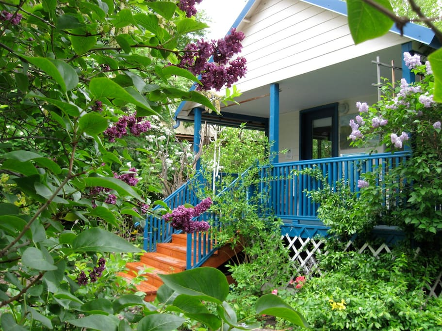 Lilac blooming in the spring