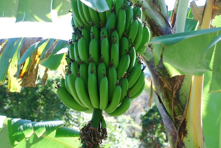Banana extravaganza on our land.