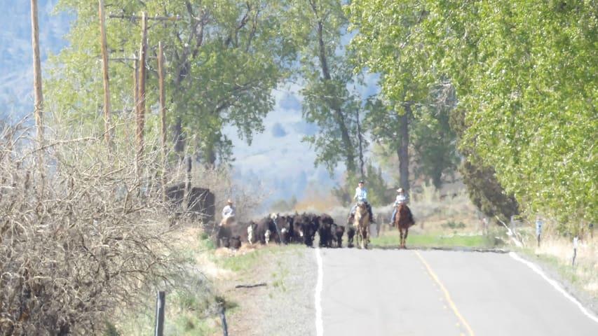 Spring Cattle drive in progress