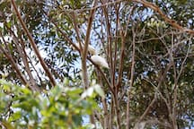 Yellow-crested cockatoos - some of the many local birds that visit